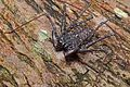Amblypygi, El Yunque National Forest, Puerto Rico by Geoff Gallice - 001.jpg