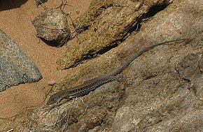 Description de l'image Ameiva exsul.JPG.