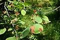 Amelanchier alnifolia kz1.jpg