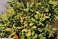 Amelanchier canadensis Glenform 1zz.jpg