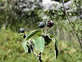 Amelanchier ovalis. Molléndanu (frutu).jpg