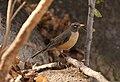 American Robin (San Lucan), San Antonio de la Sierra, Baja California del Sur, Mexico, 1 March 2014 (12920986915).jpg