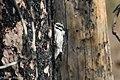 American Three-toed Woodpecker Signal Burn Gila NF NM 2017-10-18 09-04-11 (39073919161).jpg