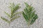 Amorpha et Glycyrrhiza.jpg