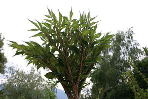 Amorphophallus konjac crown below notunfold.JPG