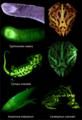 Amphibian biofluorescence images - 41598 2020 59528 Fig2-bottom.png