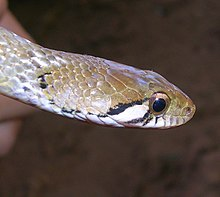 ... beddomei (Nilgiri keelback) named in honor of Richa