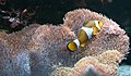 Amphiprion ocellaris 2.jpg