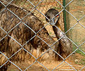 An Emu at Indira Gandhi Zoo park in Visakhapatnam (3).JPG