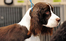 An English Springer Spaniel.jpg