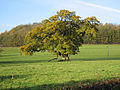 An Isolated Tree - geograph.org.uk - 286869.jpg