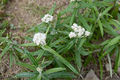 Anaphalis margaritacea 01.jpg