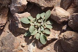 Anastatica hierochuntica in flower
