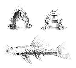Ancistrus dolichopterus Kner, 1854 type.jpg