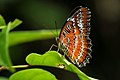 Andaman08 B Andaman Red Lacewing (7999692315).jpg