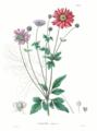 Anemone japonica SZ5.png