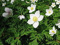 Anemone nikoensis 5.JPG