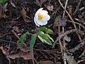 Anemonoides nemorosa 114334917.jpg
