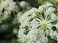 Angelica dahurica (8855221294).jpg