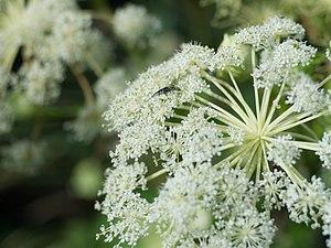 Angelica dahurica - A. dahurica