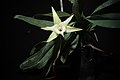 Angraecum sesquipedale Thouars, Hist. Orchid.- 66 (1822) (25468705638).jpg