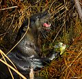 Another hungry otter at Lake Woodruff - Flickr - Andrea Westmoreland.jpg