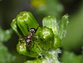 Ant on closed groundsel buds (34324401435).jpg