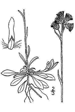 Antennaria howellii - Image: Antennaria howelli canadensis