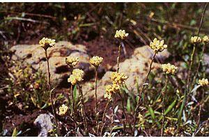 Antennaria corymbosa - Image: Antennariacorymbosa