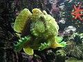 Antennarius poisson pêcheur aquarium porte dorée PariS.JPG