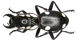 Anthiinae (beetle) subfamily of insects