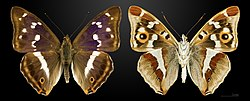Apatura iris MHNT CUT 2013 3 18 Compiegne.jpg