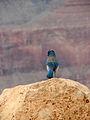 Aphelocoma woodhouseii Grand Canyon 1.jpg