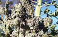 Aphids on broccoli.jpg
