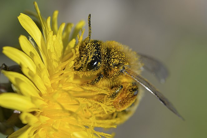 Apis mellifera2, France.jpg