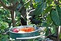Aplonis metallica -San Diego Zoo-8.jpg