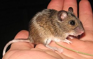 Ural field mouse - Image: Apodemus uralensis 3