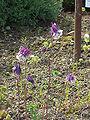 Aquilegia alpina1.jpg
