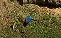 Ara chloropterus -Peru -flying-8.jpg