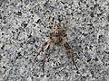 Araneae sp. (15481856031).jpg
