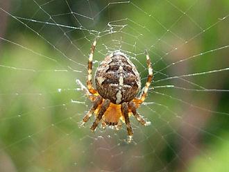 Araneus - European garden spider (Araneus diadematus)