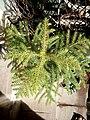 Araucaria columnaris (Coral Reef Araucaria) potted at Akola, Maharashtra, India2.jpg