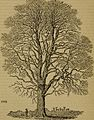 Arboretum et fruticetum Britannicum; or, The trees and shrubs of Britain, native and foreign, hardy and half-hardy, pictorially and botanically delineated, and scientifically and popularly described; (14587240238).jpg