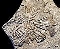 Archaeocidaris brownwoodensis MHNT.jpg