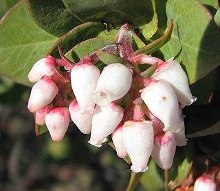 <i>Arctostaphylos tomentosa</i> Species of flowering plant