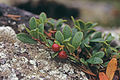 Arctostaphylos uva-ursi 2000-07-24 Karelia RU.jpg