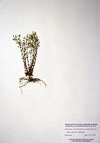 Arenaria serpyllifolia BW-1979-0529-0249.jpg