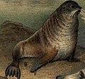 Arktisk fauna, Nordisk familjebok (Callorhinus ursinus).jpg