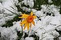 Arnica montana, Vercorin - img 13561.jpg