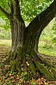 Arnoldov, památný strom Arnoldovská lípa 05.jpg
